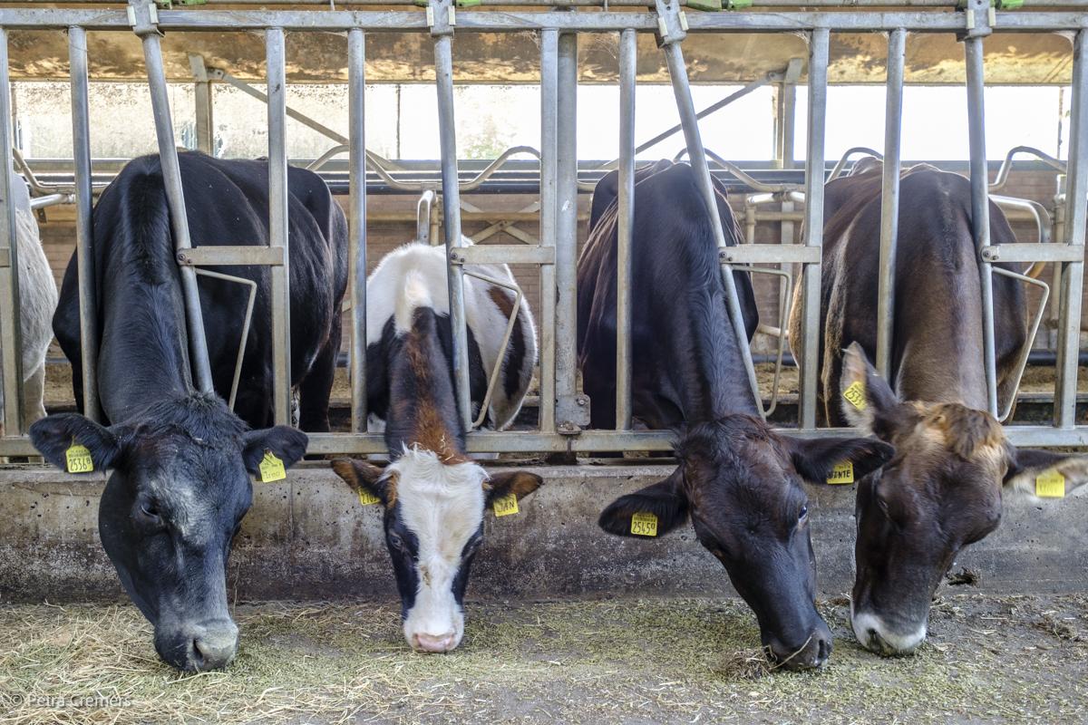 koeien-op-een-rij