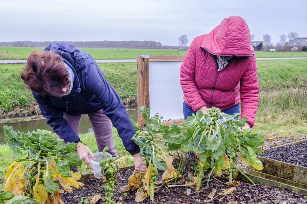 groenten oogsten